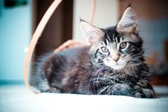 Black tabby color Maine coon kitten Stock Photo