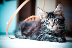 Black tabby color Maine coon kitten Royalty Free Stock Photos