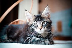 Black tabby color Maine coon kitten Stock Image