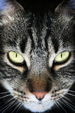 Black Tabby Face. Dramatic, vertical portrait of a black tabby cat with green eyes royalty free stock photos