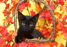 Black tabby kitten in basket with orange leaves. Fuzzy black kitten in wicker pumpkin basket with yellow and orange leaves around, yellow background. Fall Autumn Stock Images
