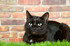 Black tabby laying in grass by brick wall. Black tabby cat sitting in grass in front of a brown and red brick wall looking slightly to viewers left Stock Photos