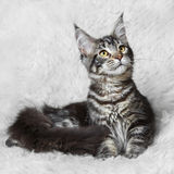 Black tabby maine cone cat posing on white background Stock Image