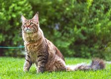Maine Coon cat in park Stock Image