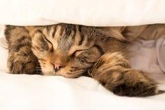 Black Tabby Maine Coon Cat sleeping under Duvet Stock Image