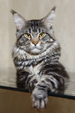 Black tabby maine coon cat with yellow eyes and big lynx Stock Images