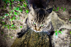 Black tabby maine coon playful cat sharpening its Stock Photos