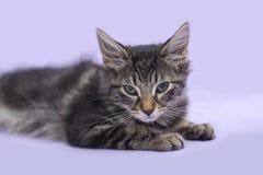 Black tabby manx kitten laying down purple background stock photo