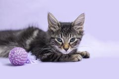 Free Black Tabby Manx Kitten With Cat Toy Purple Background Royalty Free Stock Photos - 140154838