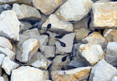 Black tadpoles in the lake with stone in the mountains Stock Photos
