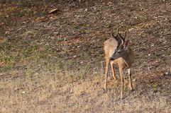 Black Tail Buck Royalty Free Stock Photos