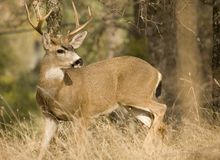 Black Tail Deer Royalty Free Stock Image
