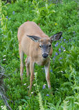 Black Tail deer eating Stock Photo
