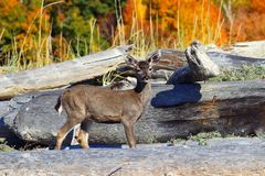 Black-Tail Deer Fawn between Driftwood in Autumn, Vancouver Island Stock Photography