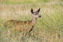 Black Tail Deer Female Stock Photos