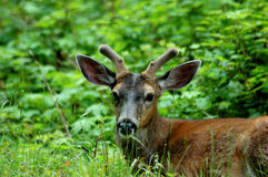 Black tail Deer Spiker Stock Photo