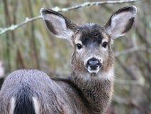 Free Black-tail Deer Staring Royalty Free Stock Photo - 29373705