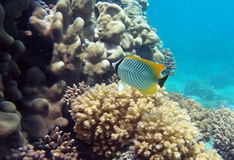 Black-tail pearlscal butterfly fish. Rarest black-tail pearlscal butterfly fish at the coral reef Stock Image