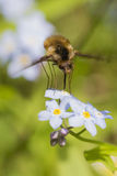 Black-Tailed Bee Fly (Bombylius major) Royalty Free Stock Image