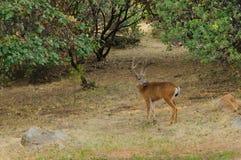 Black-tailed buck. Odocoilus hemionus in velvet royalty free stock images