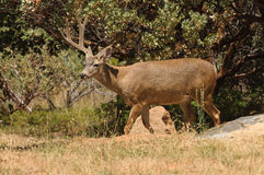 Black-tailed buck Royalty Free Stock Images