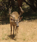 Black-tailed buck Stock Images