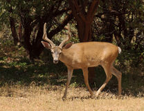 Black-tailed buck Stock Photos