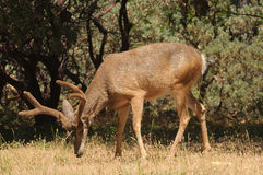 Black-tailed buck. Closeup of a Colombian Black-tailed buck feeding Royalty Free Stock Photo