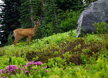 Black Tailed Buck at Mt Rainier National Park Royalty Free Stock Photos