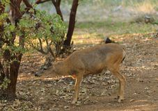 Black-tailed buck. Odocoilus hemionus in velvet stock photos