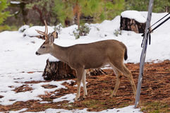 Black-tailed buck in the snow Stock Photo