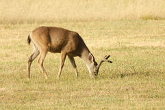 Black-tailed deer Stock Images
