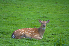 Black-tailed deer Royalty Free Stock Image