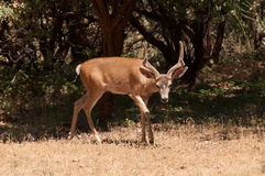Black-tailed deer Royalty Free Stock Photo