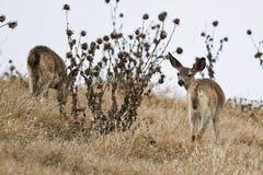 Black-tailed deer Stock Photos