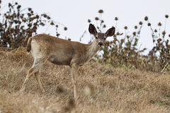 Black-tailed deer Royalty Free Stock Images