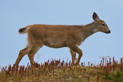 Black-tailed Deer. Fawn of black-tailed deer walking over alpine meadow, Olympic National Park Stock Photography