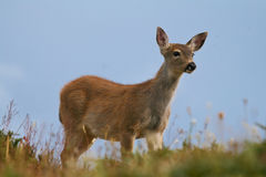 Black-tailed Deer. Fawn of black-tailed deer standing on alpine meadow Stock Photos