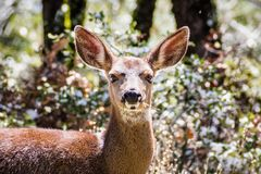 Black tailed deer. In the forests on the top of Mt Hamilton on a rare winter day with snow, San Jose, south San Francisco bay area, California royalty free stock image