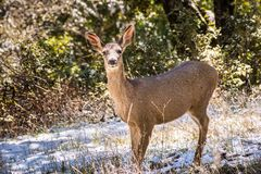 Black tailed deer;. Black tailed deer in the forests on the top of Mt Hamilton on a rare winter day with snow, San Jose, south San Francisco bay area, California stock photos