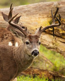 Black-tailed Deer Buck With Drop Time. A trophy Black-tailed Deer with a drop tine on its antlers Stock Photo