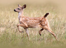 Black-tailed Deer Fawn Royalty Free Stock Photo