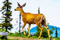 Black Tailed Deer in the high Alpine of Tod Mountain in the Shuswap Highlands of British Columbia. Canada royalty free stock photo