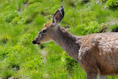 Black-tailed deer at Hurricane Ridge in olympic national park Royalty Free Stock Photos