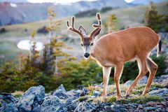 Black-tailed Deer. In the mountains Royalty Free Stock Images