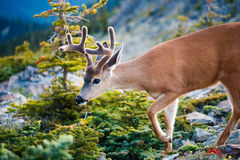 Black-tailed Deer. In the mountains Royalty Free Stock Photos