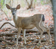 Black-tailed Deer Stock Image