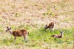 Black-tailed deer Odocoileus hemionus columbianus. In the Point Reyes National Seashore near San Francisco, California, USA Royalty Free Stock Image