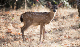 Black-tailed Deer (Odocoileus hemionus) Fawn Stock Photos