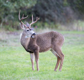 Black-tailed Deer, Odocoileus hemionus, Male Stock Photo